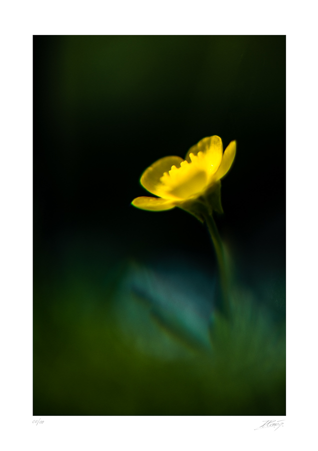 Bouton d'or - Ranunculus repens - The Vintage Glass Project
