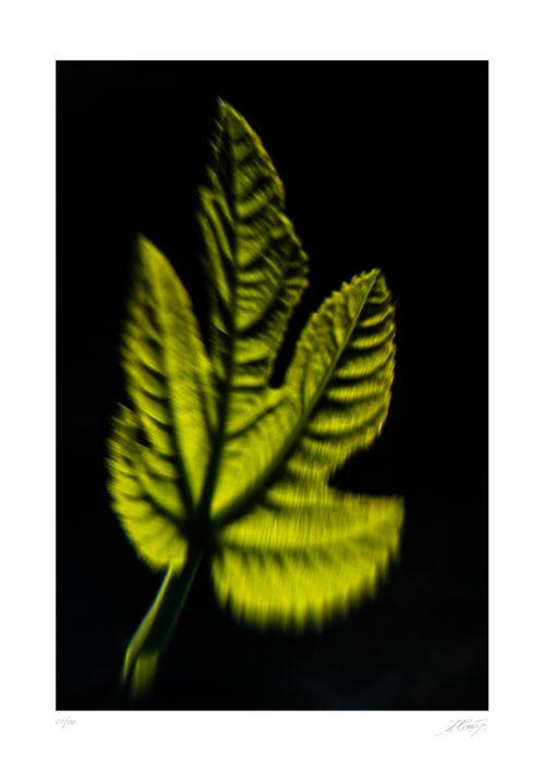 Feuille de figuier - Ficus carica