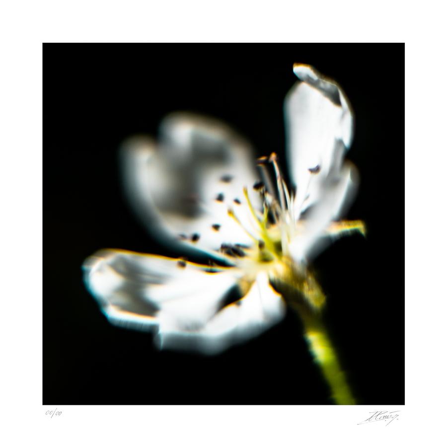Fleur de Pommier – Malum