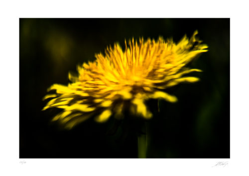 Pissenlit - Dent de Lion - Taraxacum officinale - The Vintage Glass Project