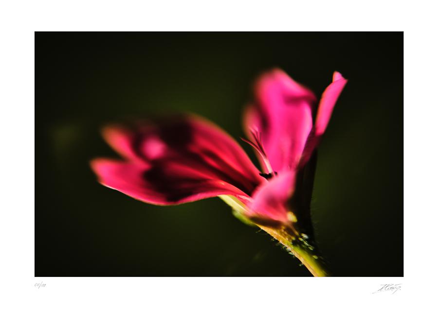 Géranium - Geranium robertianum